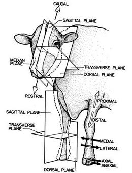 Bovino testa e arti anteriori