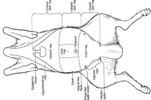 Topografia  cavità del corpo animale