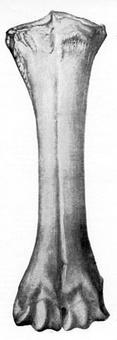 L'epifisi distale dell'osso cannone presenta 2 troclee