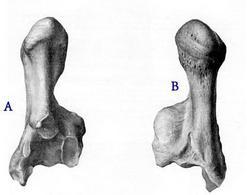 Calcaneo di equino: A – faccia craniale; B – faccia caudale.