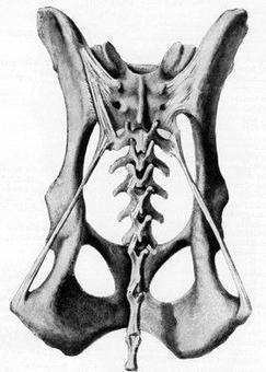 Articolazione sacroiliaca del cane, veduta dorsale