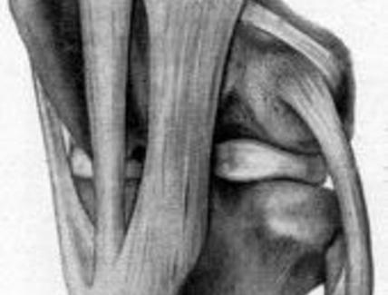 Articolazione del ginocchio del cavallo, veduta laterale