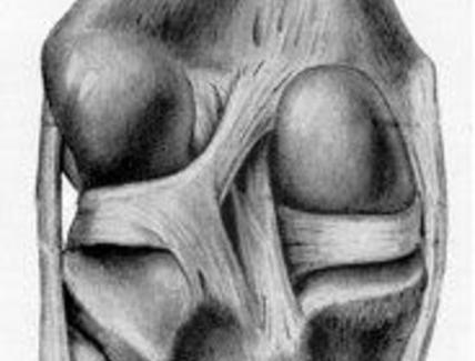 Articolazione del ginocchio del cavallo, veduta posteriore