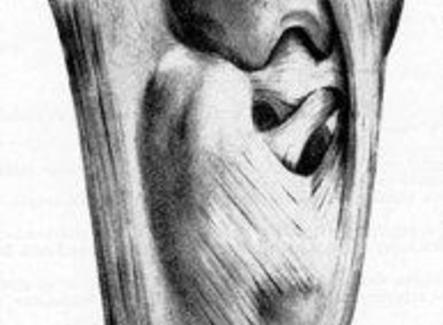 Articolazione del tarso del cavallo, veduta posteriore