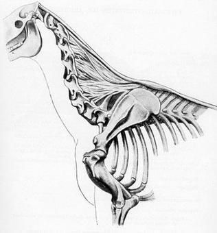 Articolazioni delle vertebre cervicali nel cavallo