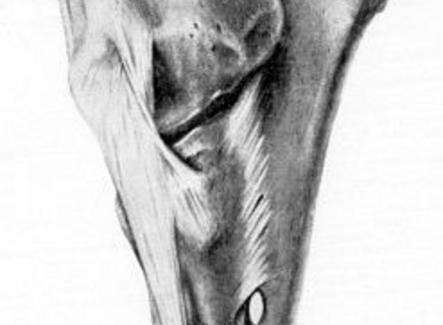 Articolazione del gomito del cavallo, veduta laterale