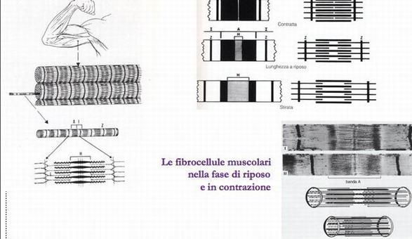 Le fibrocellule muscolari nella fase di riposo  e in contrazione