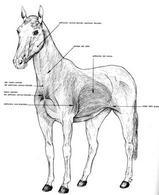 Muscoli pellicciai del cavallo