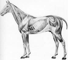Muscoli scheletrici del cavallo