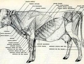Muscoli scheletrici del bovino