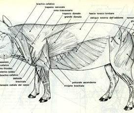 Muscoli scheletrici del suino