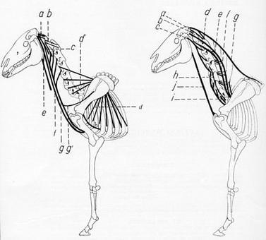 Azione dei muscoli del collo e del dorso