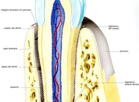 Ancoraggio del dente nella cavità alveolare