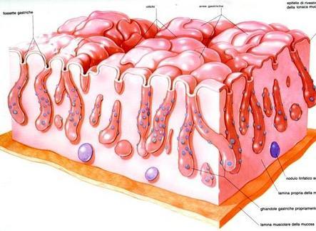 Organizzazione dello stomaco