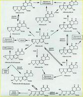 Metabolismo dell' aflatossina B1