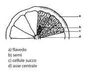 Sezione di un agrume.
