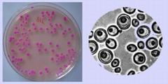 Figura 2c – Piastra con colonie di lieviti; cellule di lieviti osservate al microscopio
