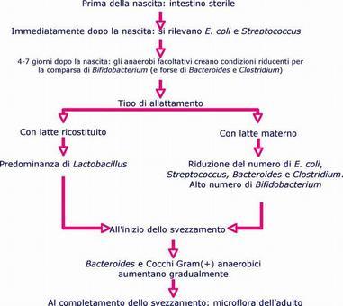 Schema della successione dei gruppi microbici dell'intestino