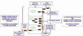 14a) Patogenesi di Salmonella spp.