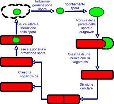 15b) Ciclo di sviluppo di un batterio sporigeno