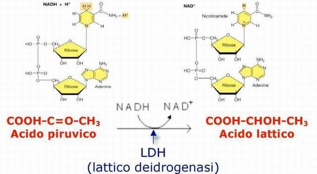 La reazione catalizzata dalla lattico deidrogenasi