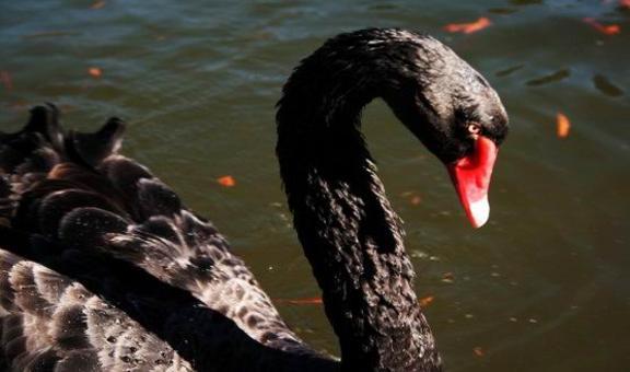 Il cigno nero è simbolo dell'improbabile, di un evento che non era atteso e che ha cambiato il corso degli eventi.