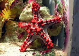 Stella marina. Fonte: Wikipedia