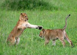 Lion Cubs Playing in the Serengeti. Fonte: Wikimedia Commons