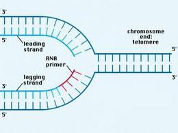 La telomerasi