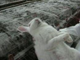 Sintomatologia in un coniglio affetto da pasteurellosi: respiro rumoroso, scolo nasale mucoso.
