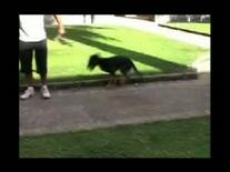 Cane met a 1: andatura sui soli arti anteriori in conseguenza della frattura di femore su un arto e di tibia sull'altro.