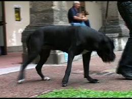 Cane corso: zoppia di IV grado in esito ad artropatia di origine settica dell'articolazione gomito.