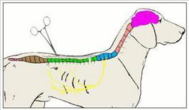 b) In caso di mielopatia trasversa a localizzazione toracolombare l'arco riflesso non si chiude e non si ha la contrazione del muscolo pannicolare del dorso quando la stimolazione avviene posteriormente alla sede di lesione.