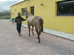 Horse with PSSM shows slight lameness during exercise